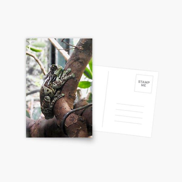 Amazon Milk Frog-2 Postcard