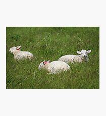 Three Lambs Photographic Print