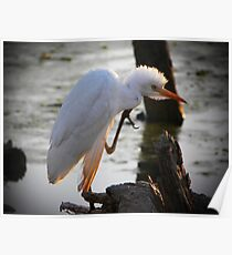 Cattle Egret Poster