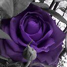 Velvet Rose by chrisuk