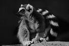 Ring-tailed Lemur by Joshua Greiner