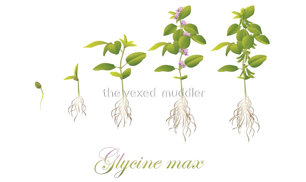 Soybean (Glycine max) plant development by the vexed  muddler