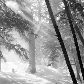 Sunlight on Falling Snow and Trees by JonGrundy