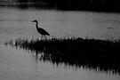 hunting heron by dedmanshootn