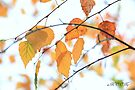 Yellow leaves by aMOONy