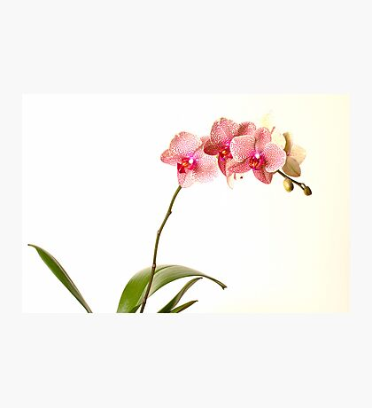 Orchid #1 Photographic Print
