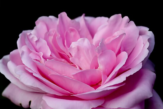 Pink Petals by Ray Clarke