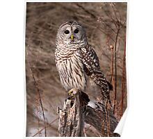 On Bended Knee / Barred Owl Poster