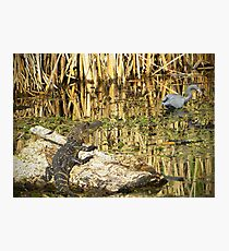 Young Gator Photographic Print