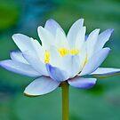 True Blue - waterlilly by Jenny Dean