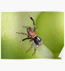 Australian Peacock Jumping Spider Poster