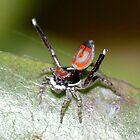 Australian Peacock Jumping Spider by aussiecreatures
