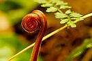 Fern in Rainforest by Normf
