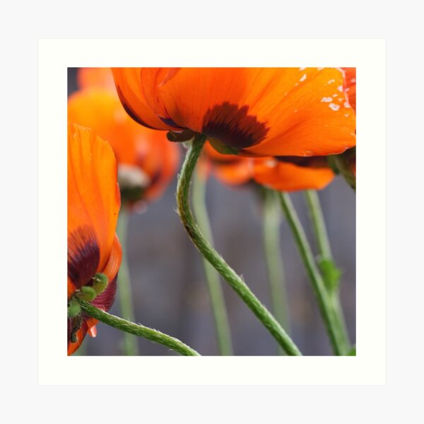 Surprise Cluster of Poppies Art Print