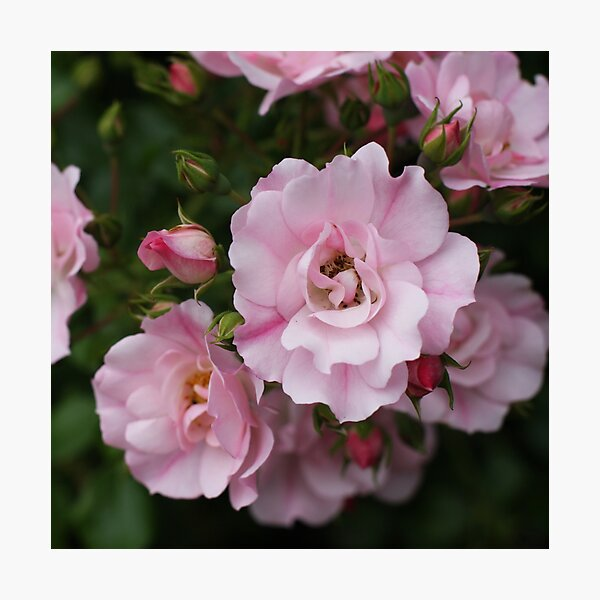 Scent of Sweet Summer Roses Photographic Print