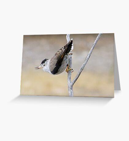 Varied Sittella Greeting Card