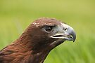 Golden Eagle by Val Saxby