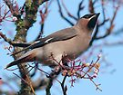 Waxwing by Grandalf