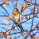Lesser Redpoll by dilouise