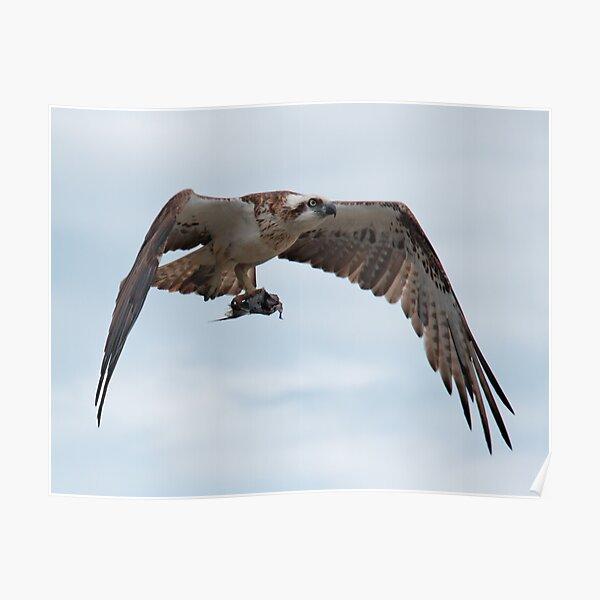 SC ~ RAPTOR ~ Eastern Osprey by David Irwin ~ WO 030919 Poster