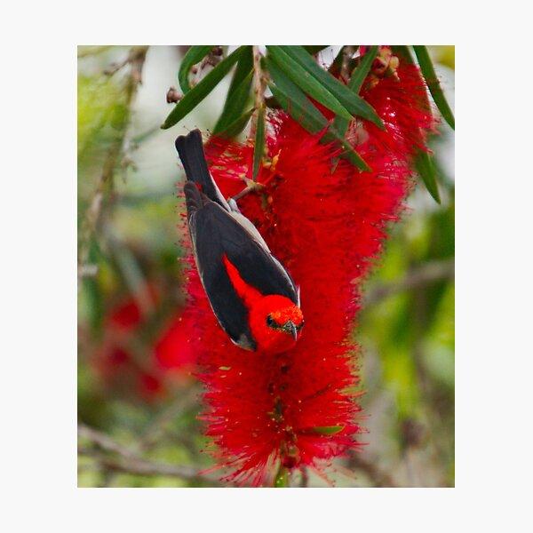 SC ~ HONEYEATER ~ Scarlet Honeyeater by David Irwin ~ WO 030919 Photographic Print