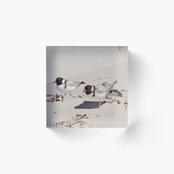 SHOREBIRD ~ Hooded Plovers by David Irwin 060919 Acrylic Block