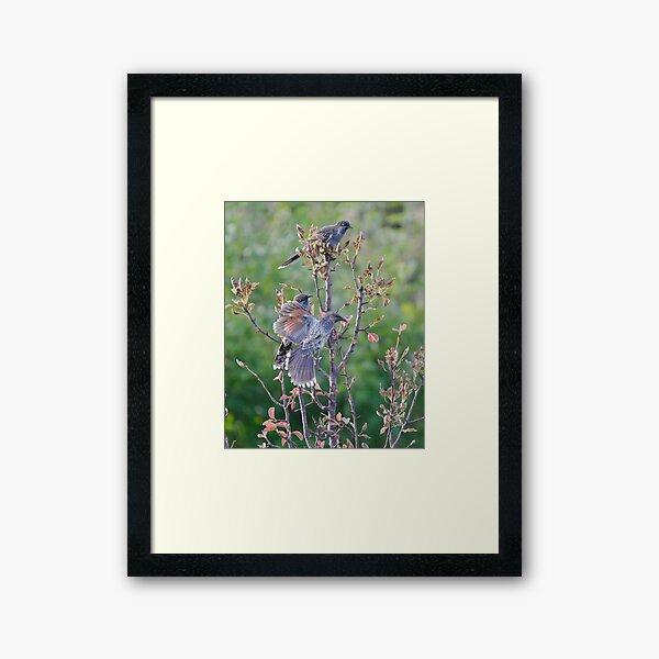 HONEYEATER ~ Little Wattlebird by David Irwin Framed Art Print