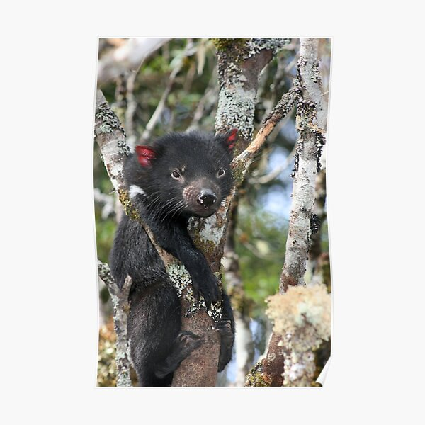 Stuck (Tasmanian Devil Climbing) Poster
