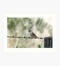 Plum-headed Finch Art Print