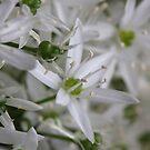 Wild Garlic Blossom by SmoothBreeze7