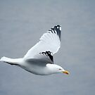 seagull by Anthony Thomas