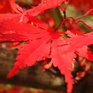Red Maple  by Catherine Mardix