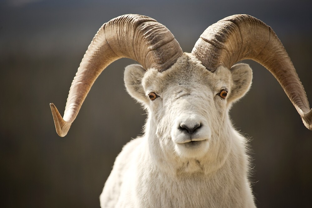 Dall Ram by Marty Samis