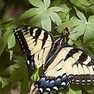 Backyard Butterfly by yakkphat