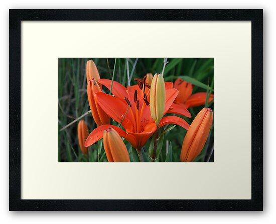 Tiger Lily by Jen Hendricks