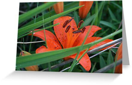 Lilies by Jen Hendricks
