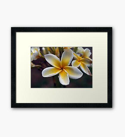 Plumerias Framed Print