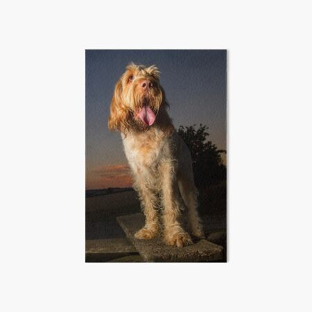 Standing on a seat at sunset Spinone Art Board Print