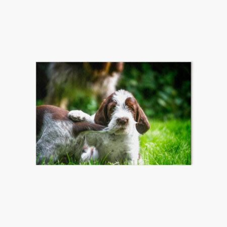 Spinone puppy dog tails Art Board Print