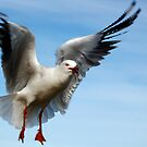 Seagull In Flight by Eve Parry