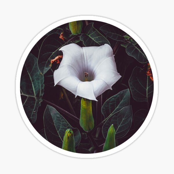 Devil's Trumpet. Datura Flower Photograph II. Sticker