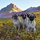 The Pug Grumble In Full Bloom by pugventurephoto