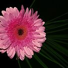 Pink Gerbera and Palm Leaf by KarenM