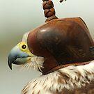 Hooded Falcon by Jason Pepe