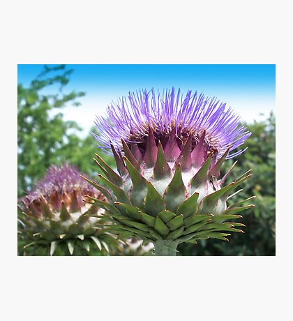 Flower buds of the globe artichoke Photographic Print