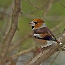 Wintering Hawfinch by Robert Abraham