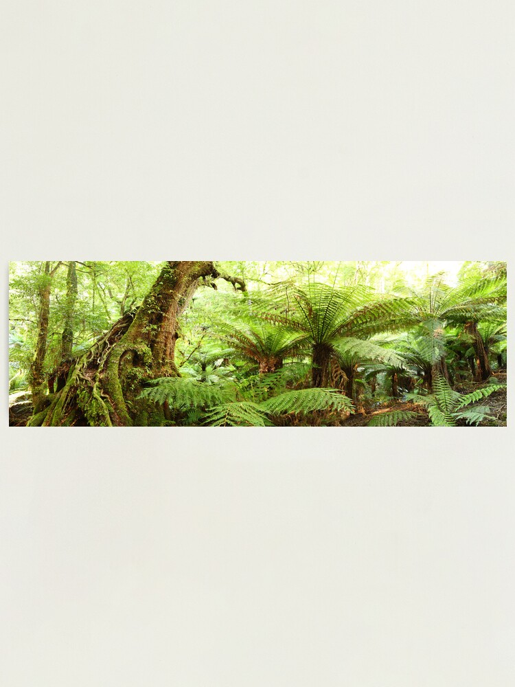 Alternate view of Myrtle Tree, Tarra Bulga National Park, Australia Photographic Print