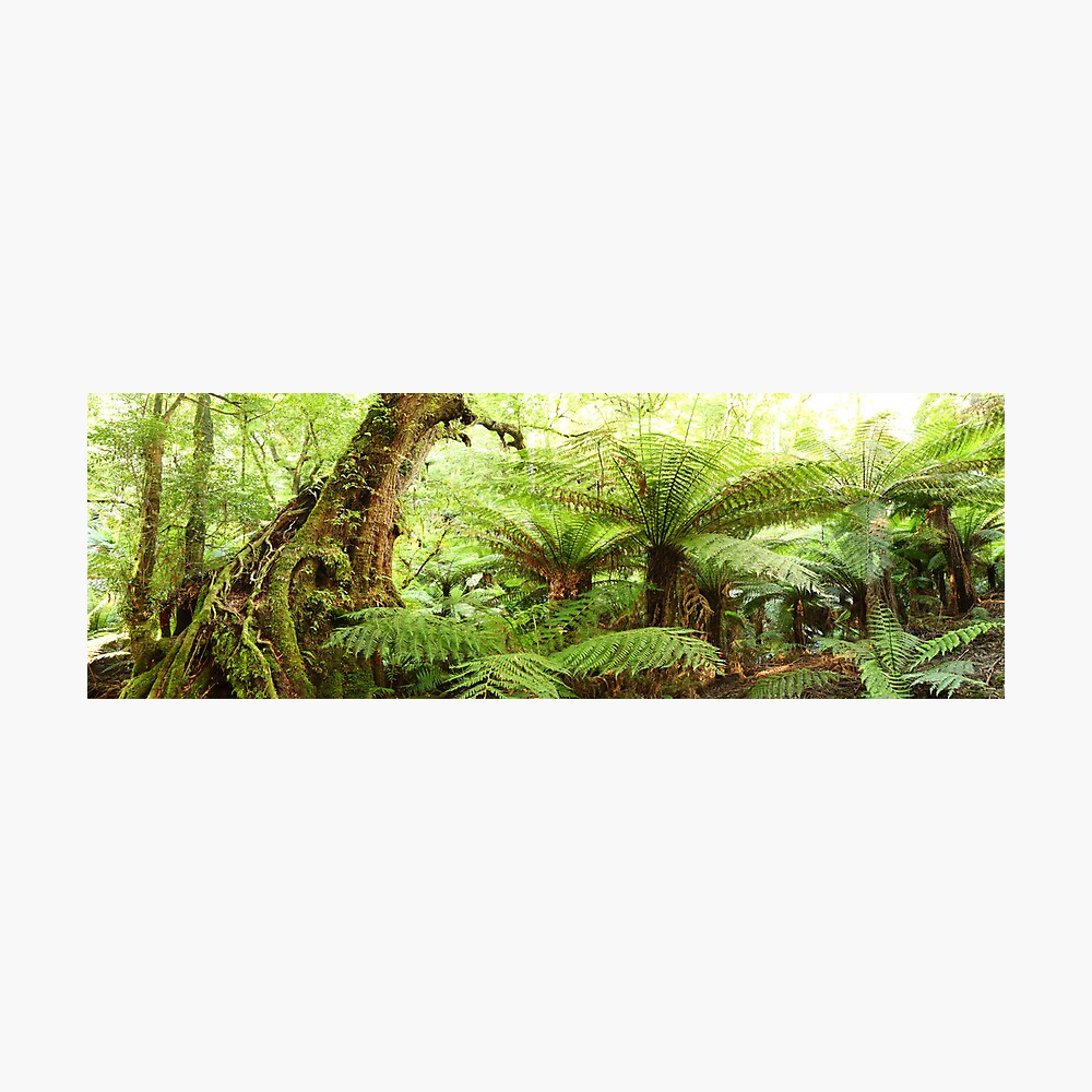 Myrtle Tree, Tarra Bulga National Park, Australia Photographic Print