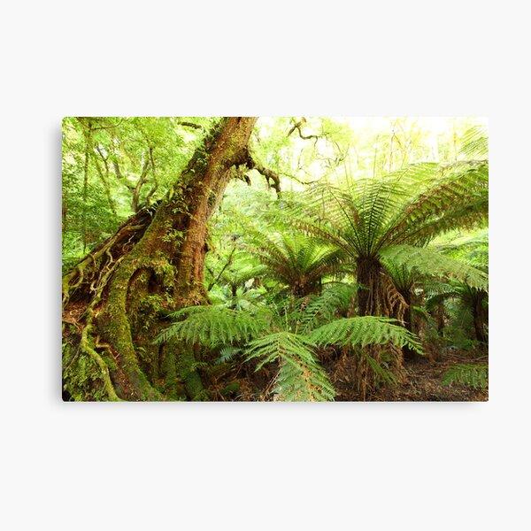 Myrtle Tree, Tarra Bulga National Park, Australia Canvas Print
