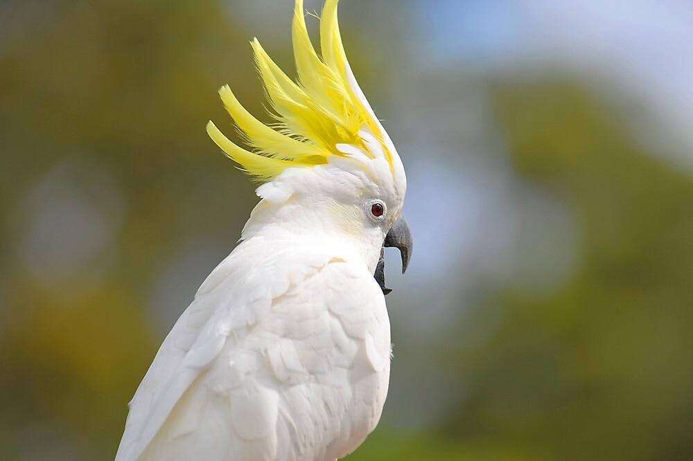 Quot Female Sulphur Crested Cockatoo Brisbane Queensland